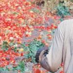 migranti-pomodori
